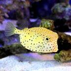 (海水魚)テングハコフグ Mサイズ(1匹)