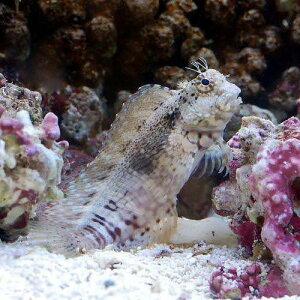 海水魚・無脊椎動物>海水魚>カエルウオ・ブレニー(ギンポ)(海水魚)沖縄産 ヤエヤマギン...