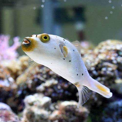 (海水魚 フグ)コクテンフグ Lサイズ(1匹)