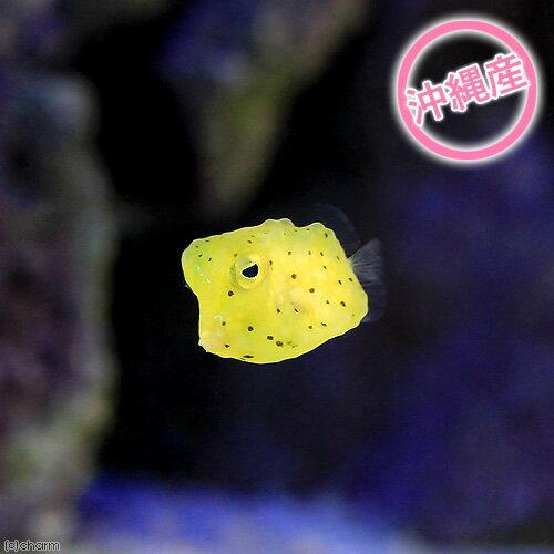 (海水魚 フグ)沖縄産 コンゴウフグ Sサイズ(1匹)