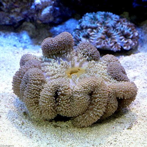 (海水魚 無脊椎)セブ産 ハタゴイソギンチャクsp. ミックス SMサイズ(1匹)