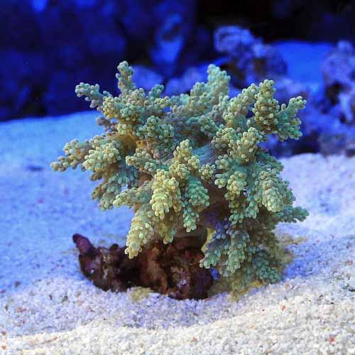 (海水魚 サンゴ)沖縄産 カワラフサトサカ スーパーグリーン Sサイズ(1個)