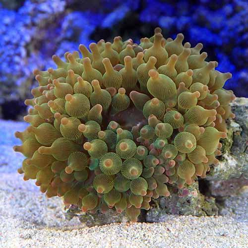(海水魚 無脊椎)サンゴイソギンチャク グリーン Lサイズ(1匹)