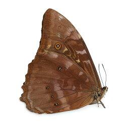 (昆虫)標本(A−〜B品)テレマクスモルフォ オス ペルー産(未展翅)(1匹)