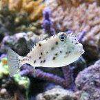 (海水魚)ヒョウモンハコフグ(1匹)
