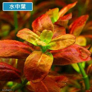 ■アラグアイアレッドロタラ(水上葉)(5本)