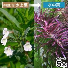 無農薬!水中葉の活きの良さが違う!(水草)ニューオランダプラント(水上葉)(5本)