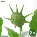 (観葉植物)ドルステニア フォエチダ(紅葉あり)コーデックス 3号(1ポット)