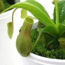 虫を捕食する脅威の植物!一風変わったインテリアにも!(食虫植物)ウツボカズラ ネペンテス...