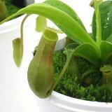 (食虫植物)ウツボカズラ ネペンテス アラタ 3号(1ポット)