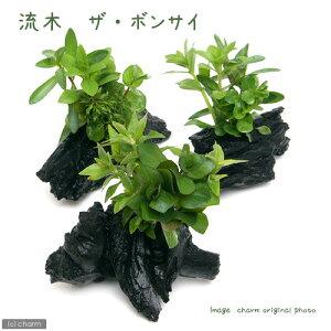 (Waterweed) Treibholz Die Bonsai S Größe (Wasserblatt) (pestizidfrei) (1) (ca. 15 cm) Hokkaido Airmail Isolierung erforderlich