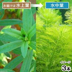 無農薬!水中葉の活きの良さが違う!(水草)ジャイアントアンブリア(水上葉)(無農薬)(3本)