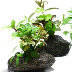 小型水槽のアクセントに!簡単設置!(水草)Plants Arrangement ザ ボンサイ(無農薬)(1...