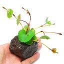 無農薬!水中葉の活きの良さが違う!(水草)アマゾンチドメグサ(水上葉) 穴あき溶岩石付(...
