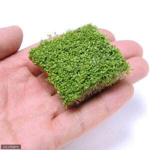 (水草)キューバパールグラス(水上葉) キューブタイプLサイズ(約4cm)(無農薬)(1個) …