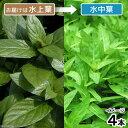 無農薬!新しい前景草!■ストロジンsp.(水上葉)(4本)