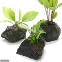 (水草)おまかせエキノドルス(子株・水上葉) 穴あき溶岩石付(無農薬)(1個)
