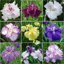 日本の伝統的園芸植物!(ビ)おまかせ花菖蒲 3ポットセット(3ポット)