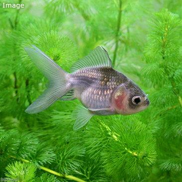 (国産金魚)青文紅葉セルフィンランチュウ 木村養魚場産(1匹)