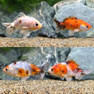 (国産金魚)隼人錦/はやとにしき 巻木養魚場産(1匹)