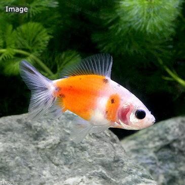 (国産金魚)隼人桜錦 巻木養魚場産(1匹)