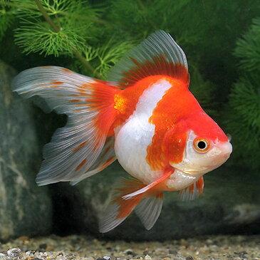 (国産金魚)一点物 更紗琉金 平賀養魚場産 8cm±(1匹) 沖縄別途送料