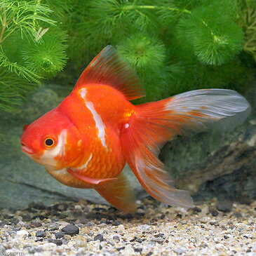 (国産金魚)一点物 更紗琉金 平賀養魚場産 9cm±(1匹) 沖縄別途送料