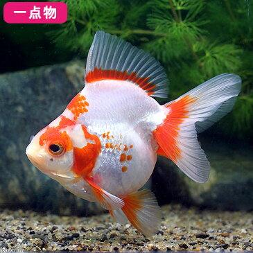 (国産金魚)一点物 更紗琉金 平賀養魚場産 11cm±(1匹) 沖縄別途送料