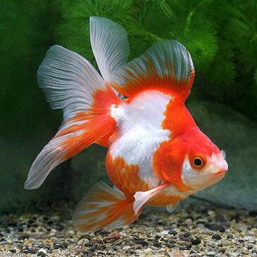(国産金魚)一点物 更紗琉金 平賀養魚場産 10cm±(1匹) 沖縄別途送料