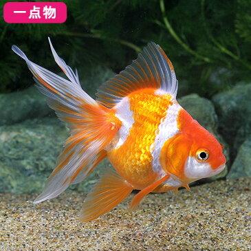 (国産金魚)一点物 更紗琉金 志村養魚場産 7cm±(1匹) 沖縄別途送料