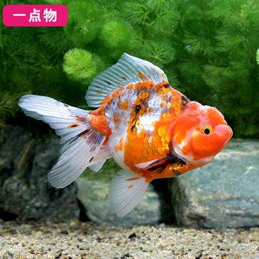 (国産金魚)一点物 五色東錦 志村養魚場産 11cm±(1匹) 沖縄別途送料