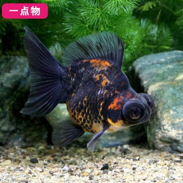(国産金魚)一点物 ゼブラ蝶尾 志村養魚場産 9cm±(1匹) 沖縄別途送料