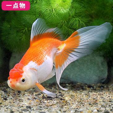 (国産金魚)一点物 日本オランダ獅子頭/日本オランダシシガシラ 吉岡養魚場産 11cm±(1匹) 沖縄別途送料