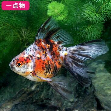 (国産金魚)一点物 キャリコ琉金 吉岡養魚場産 9cm±(1匹) 沖縄別途送料