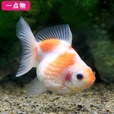 (国産金魚)一点物 ピンポンパール 吉岡養魚場産 8cm±(1匹) 沖縄別途送料