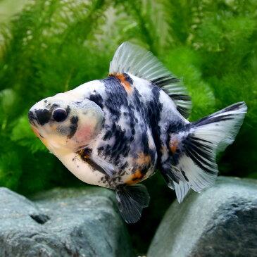 (金魚)一点物 白黒オランダシシガシラ ショートテール 13cm(中国産)(1匹) 沖縄別途送料