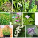 (ビオトープ/水辺植物)オススメ ビオ植物(3ポットセット)...