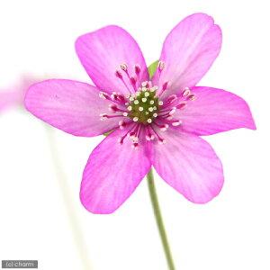 早春の鉢花!(観)爛漫 ゆきわりそう 赤花 標準花 2.5号(1ポット)