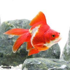 (国産金魚)更紗琉金(サラサリュウキン) 飯田産 2歳(1匹)