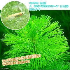 無農薬!お買い得なセット!(水草)カボンバ 1束分 + ヒメダカ(6匹) セット