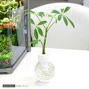画期的な観葉植物(観)カプセルプランツ シェフレラ 【あす楽対応_関東】
