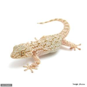 ▼《航空便不可》ムーア・カベヤモリ(爬虫類)(1匹)