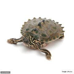 ▼《航空便不可》キタクロコブ・チズガメ(爬虫類)(1匹)