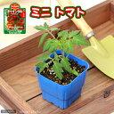 (観葉植物)デルモンテ 野菜苗 トマト めちゃなり! トゥインクル(ミニトマト) 3号(1ポット) 家庭菜園 北海道冬季発送不可
