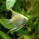 丈夫で安心の国産ブリード!(熱帯魚)ゴールデン・エンゼルフィッシュ(国産ブリード)(3匹)...