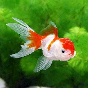 (国産金魚)更紗オランダシシガシラ(1匹)