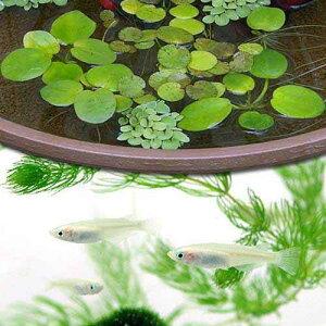 (水草)おまかせ浮き草3種セット +(めだか)白メダカ/白めだか(6匹)