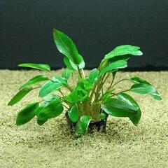 ■《残留農薬あり》クリプトコリネ ウェンティー リアルグリーン(1ポット分)(エビ水槽使用...