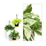 (観葉植物)ポトス 品種おまかせ 吊り鉢タイプ 5号(1鉢)