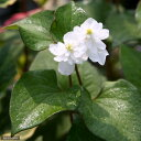 (ビオトープ)水辺植物 八重咲きドクダミ(1ポット) 湿性植物